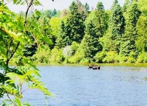 Moose at Washington Creek Campground