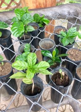 Baby Coffee Plants